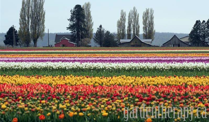 Skagit Valley Tulip Festival http://gardentherapy.ca/skagit-tulip-festival-12/