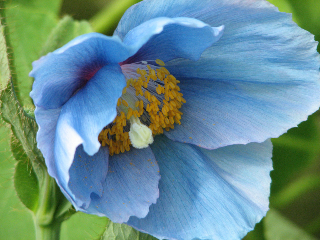 https://join.longwoodgardens.org/gardens/about-our-plants/production/signature-plants/blue-poppies