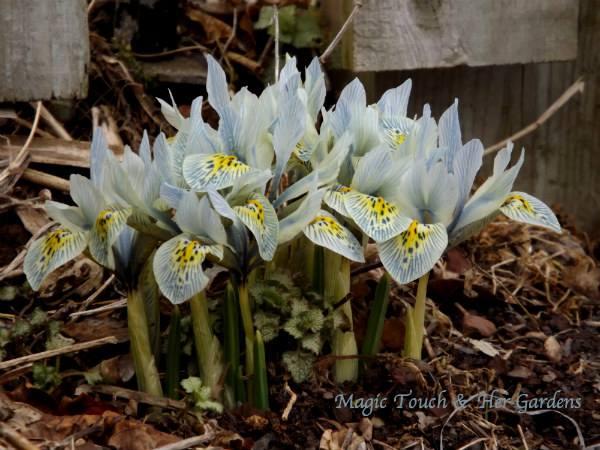 dwarf iris https://www.facebook.com/MagicTouch.HerGardens