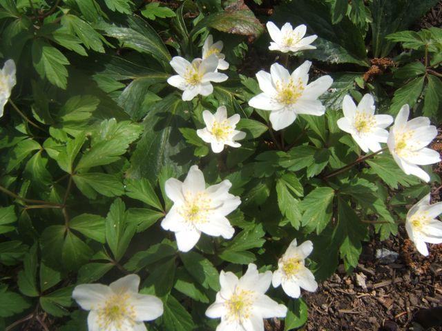 spring blooms http://sensiblegardening.com/spring-blooms/