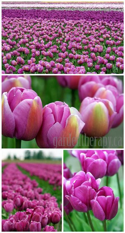 tulip festival http://gardentherapy.ca/skagit-tulip-festival-12/