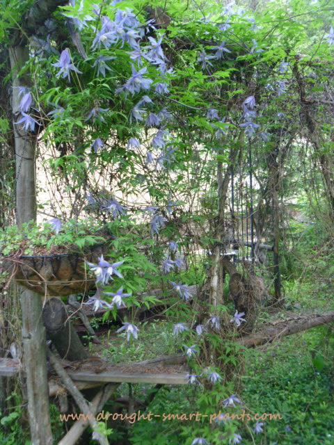 clematis http://www.drought-smart-plants.com/clematis-species.html#axzz2zcQLKxkA