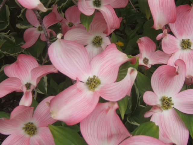 dogwood http://sensiblegardening.com/six-beautiful-flowering-spring-trees-and-bushes/