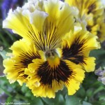 pansy https://ourfairfieldhomeandgarden.com/signs-of-spring-at-our-fairfield-home-garden/
