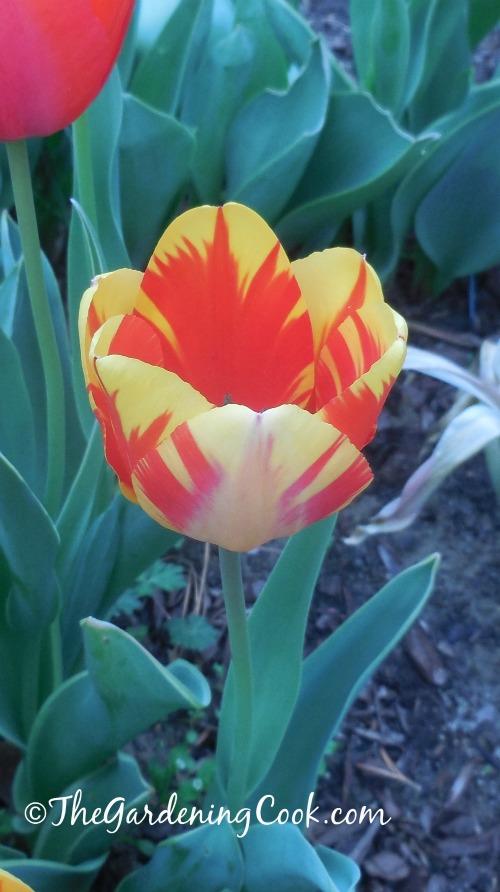 spring bulbs http://thegardeningcook.com/3-easy-bulbs-grow-early-spring/