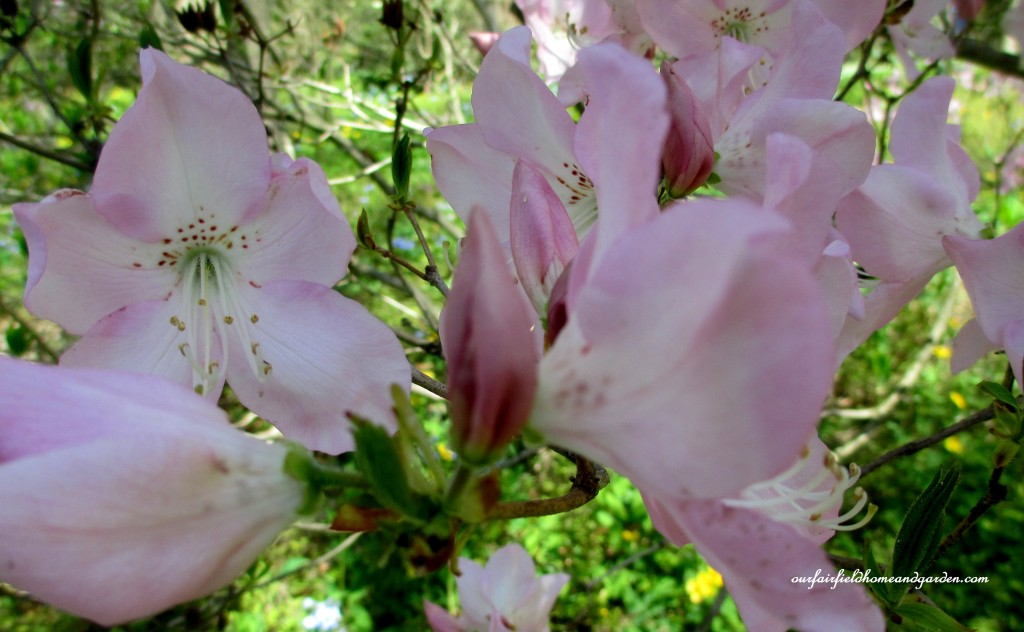 Native Azaleas http://ourfairfieldhomeandgarden.com/field-trip-mt-cuba-centers-10th-annual-wildflower-celebration/