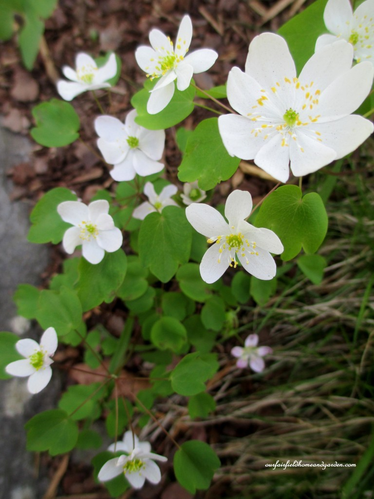 Rue-Anemone http://ourfairfieldhomeandgarden.com/field-trip-mt-cuba-centers-10th-annual-wildflower-celebration/
