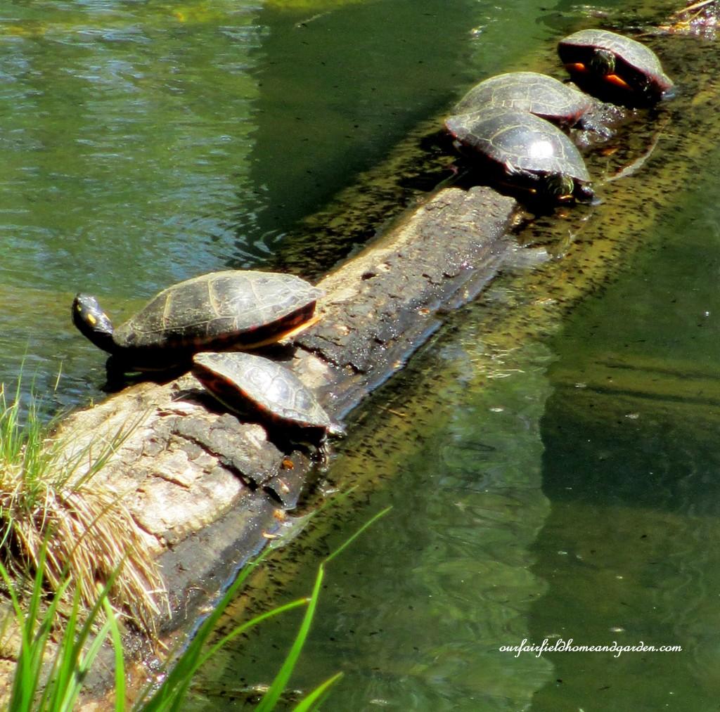 Turtles https://ourfairfieldhomeandgarden.com/field-trip-mt-cuba-centers-10th-annual-wildflower-celebration/