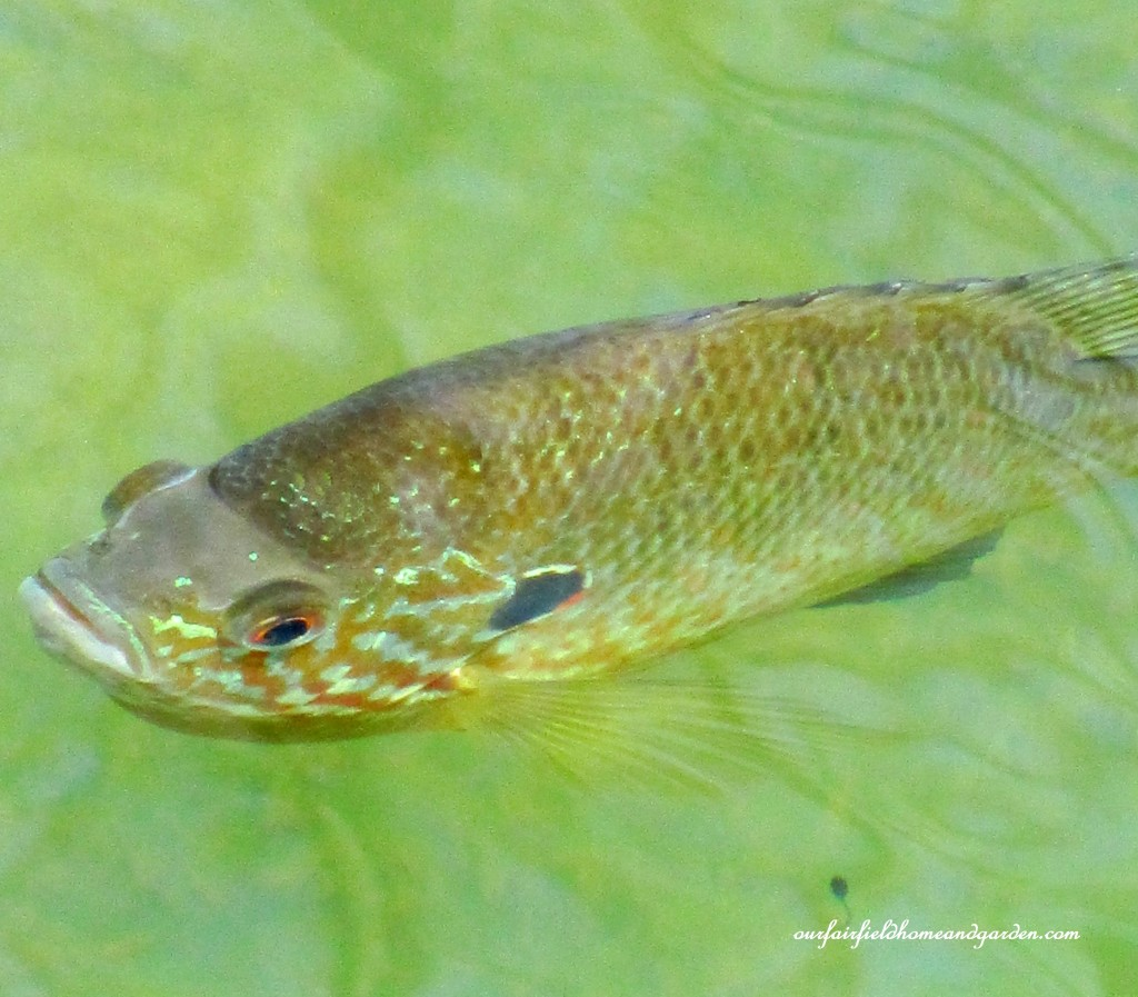Fish & tadpoles http://ourfairfieldhomeandgarden.com/field-trip-mt-cuba-centers-10th-annual-wildflower-celebration/