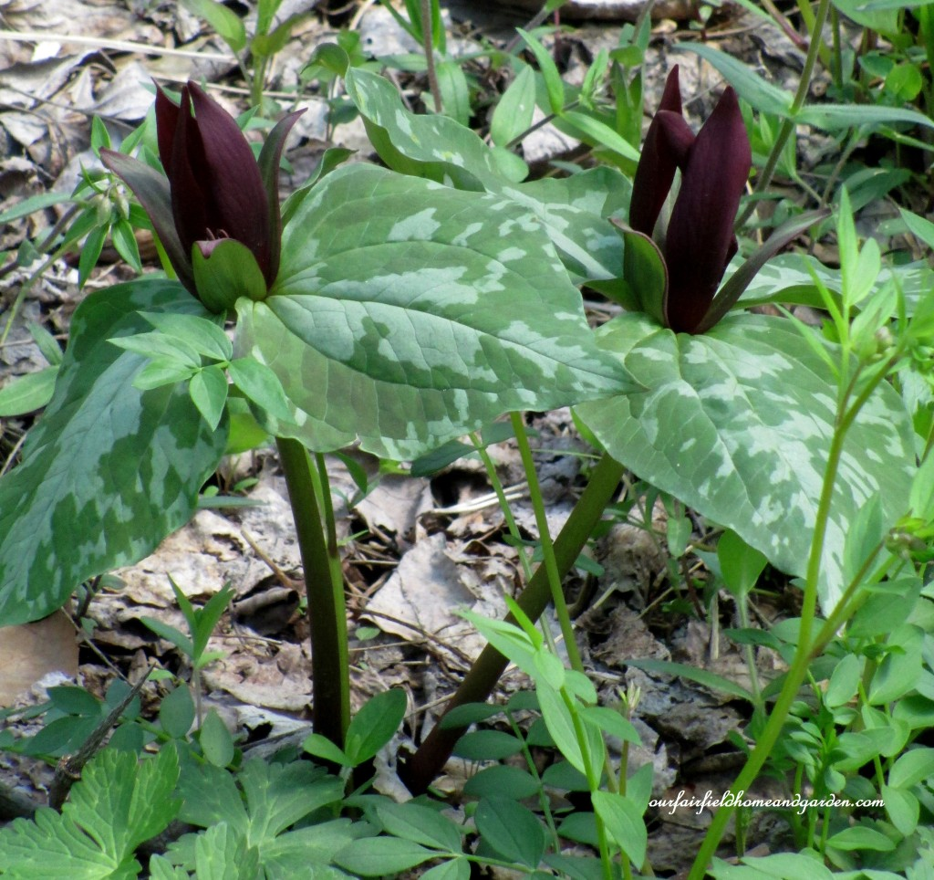 Trillium https://ourfairfieldhomeandgarden.com/field-trip-mt-cuba-centers-10th-annual-wildflower-celebration/