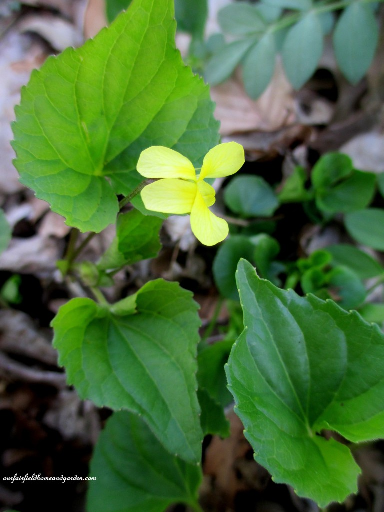 Yellow Violets http://ourfairfieldhomeandgarden.com/field-trip-mt-cuba-centers-10th-annual-wildflower-celebration/