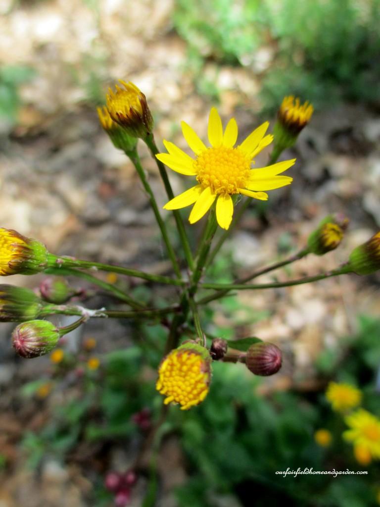 Golden Ragwort http://ourfairfieldhomeandgarden.com/field-trip-mt-cuba-centers-10th-annual-wildflower-celebration/