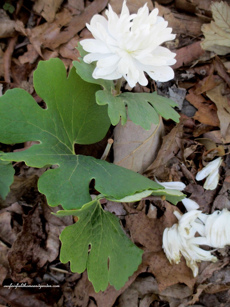 Double Bloodroot http://ourfairfieldhomeandgarden.com/field-trip-mt-cuba-centers-10th-annual-wildflower-celebration/