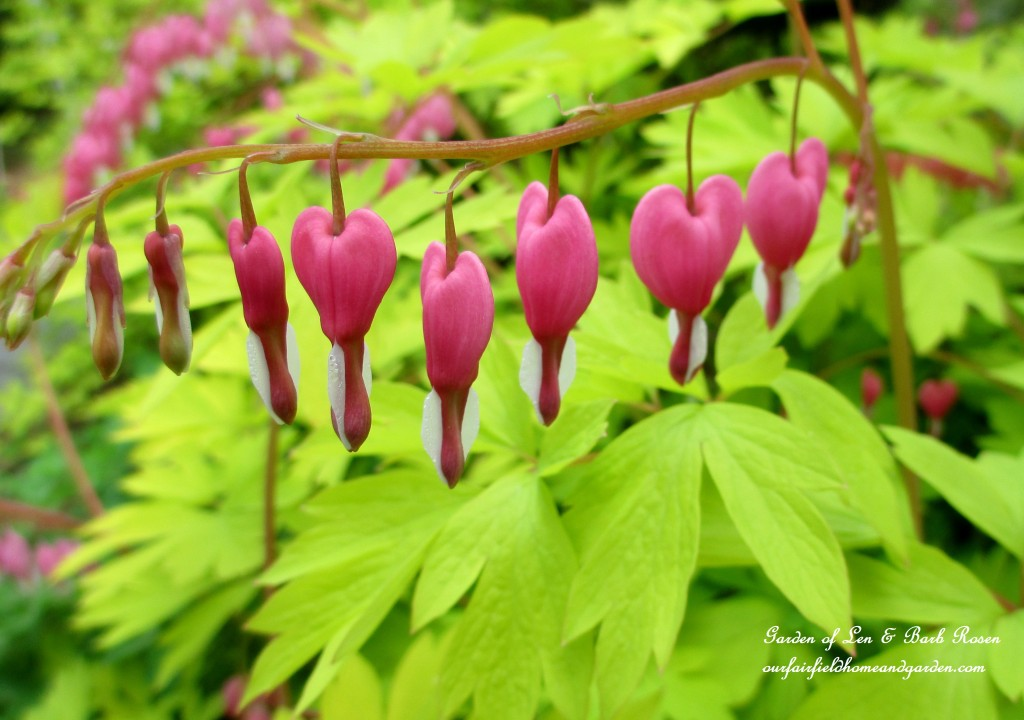 Dicentra http://ourfairfieldhomeandgarden.com/bleeding-heart-for-your-spring-garden/