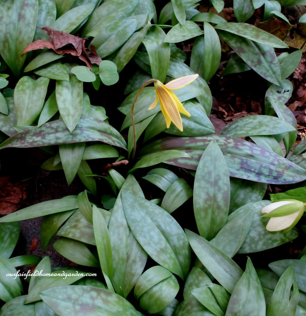 Trout Lily http://ourfairfieldhomeandgarden.com/field-trip-mt-cuba-centers-10th-annual-wildflower-celebration/