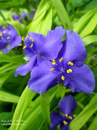 Spiderwort https://ourfairfieldhomeandgarden.com/june-garden-our-fairfield-home-garden/