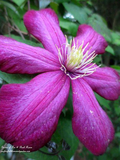 Pink Clematis https://ourfairfieldhomeandgarden.com/june-garden-our-fairfield-home-garden/