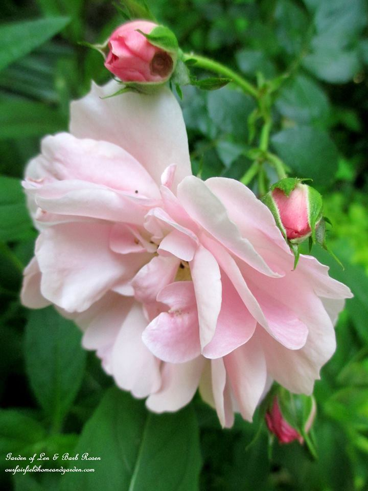 Fairy Rose http://ourfairfieldhomeandgarden.com/june-garden-our-fairfield-home-garden/