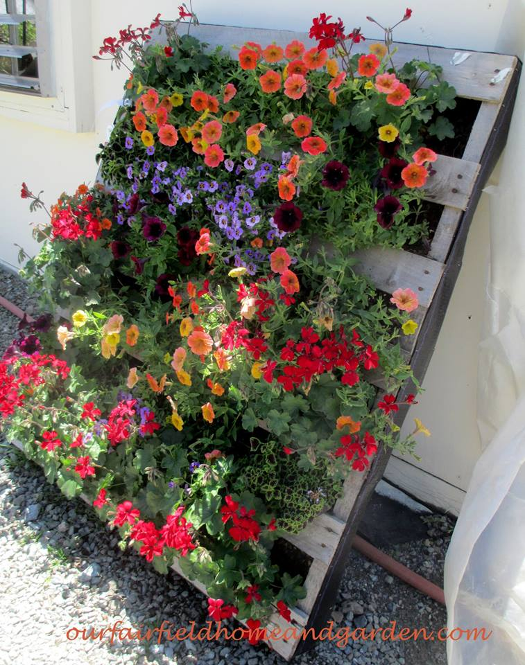 Pretty Pallet Planter with Petunias! http://ourfairfieldhomeandgarden.com/container-gardens-our-fairfield-home-garden/