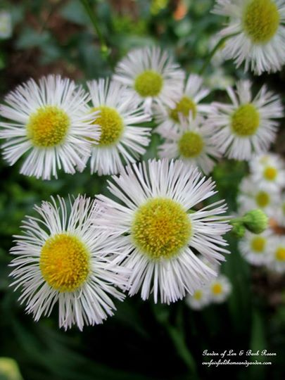 Fleabane http://ourfairfieldhomeandgarden.com/june-garden-our-fairfield-home-garden/