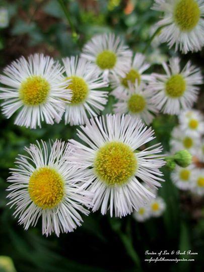 Fleabane https://ourfairfieldhomeandgarden.com/june-garden-our-fairfield-home-garden/