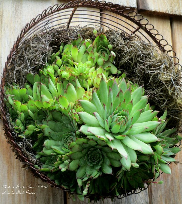 Succulents in a wire basket http://ourfairfieldhomeandgarden.com/container-gardens-our-fairfield-home-garden/