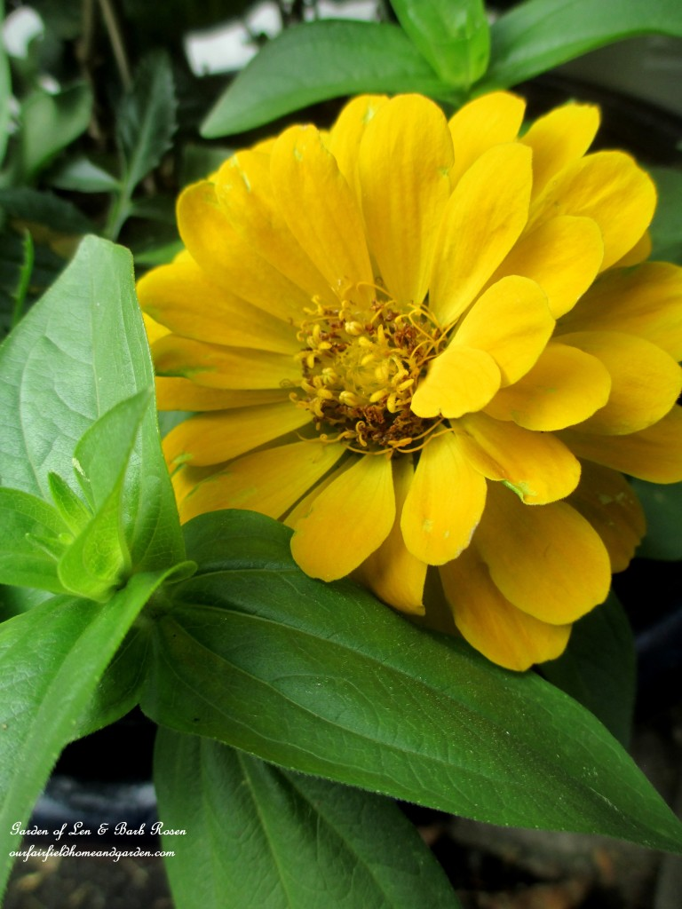 Zinnia http://ourfairfieldhomeandgarden.com/june-garden-our-fairfield-home-garden/