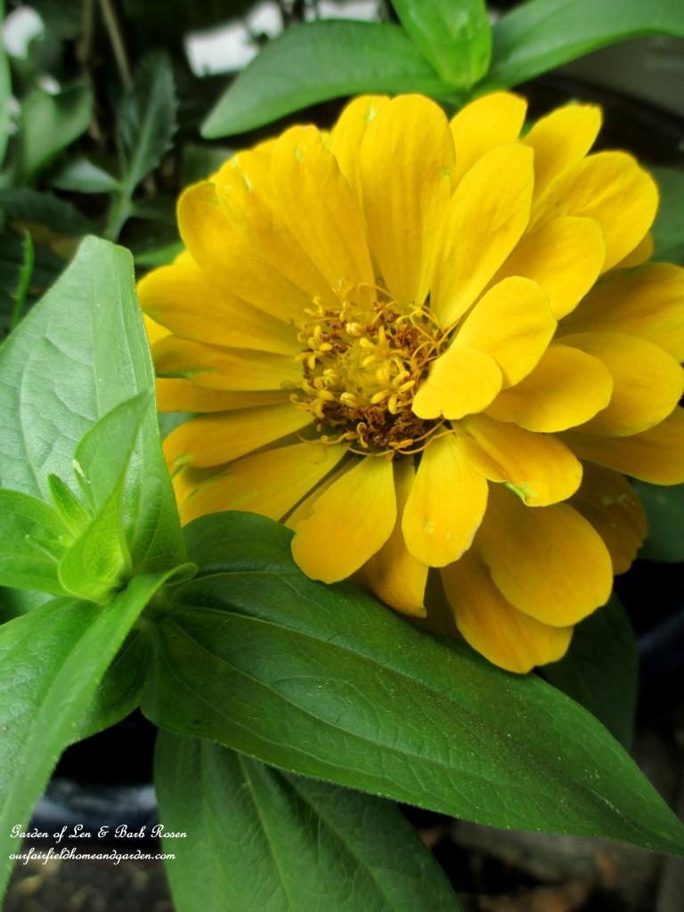 Zinnia https://ourfairfieldhomeandgarden.com/june-garden-our-fairfield-home-garden/