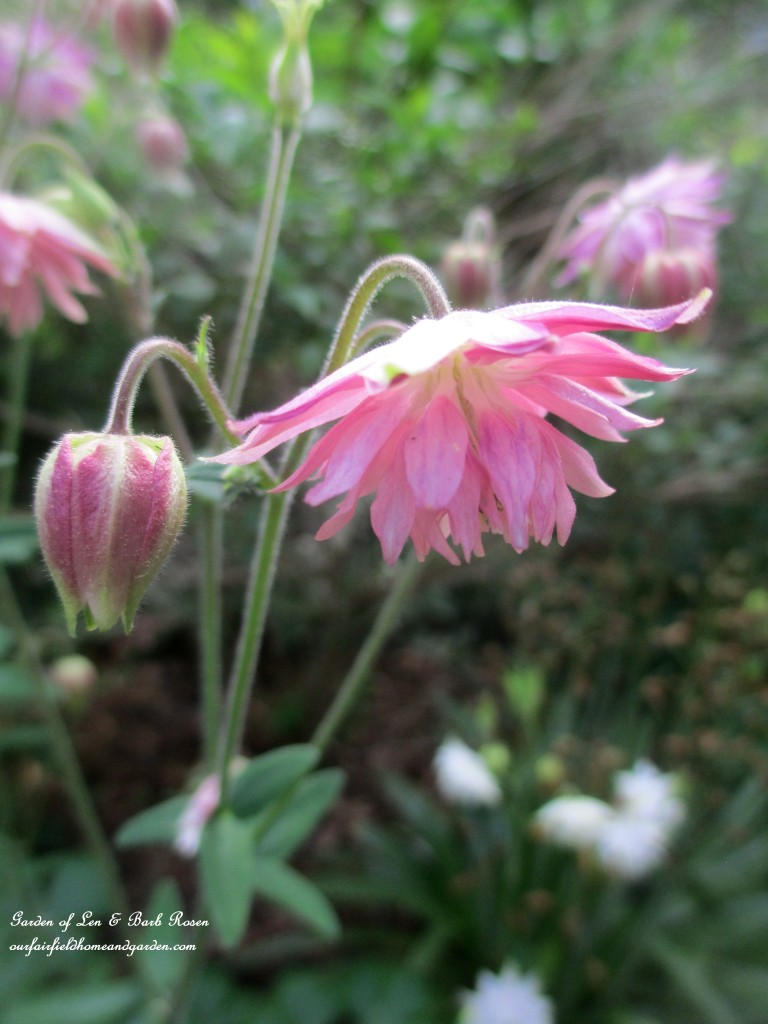 Pink Columbine http://ourfairfieldhomeandgarden.com/june-garden-our-fairfield-home-garden/