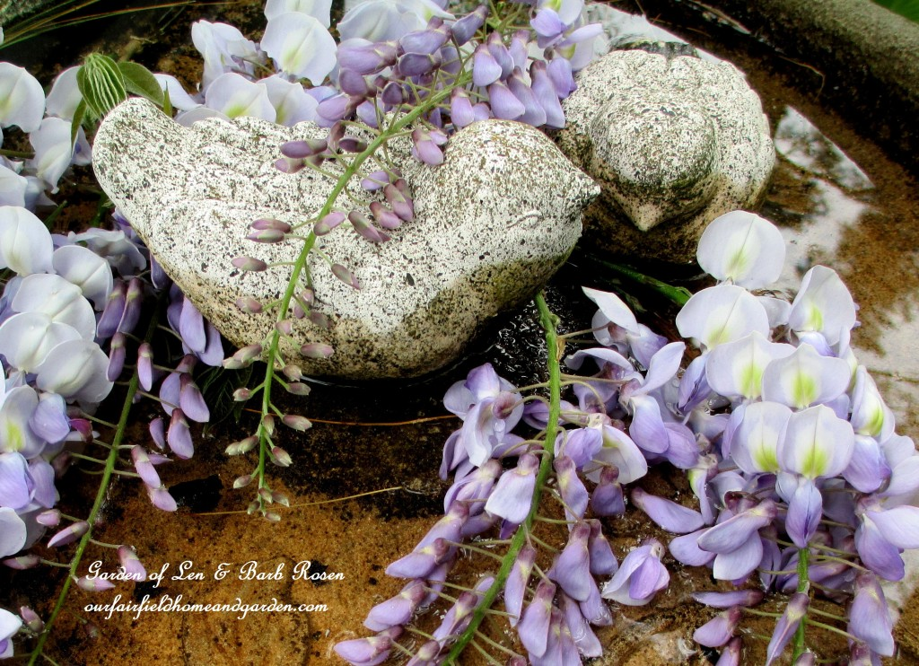 Wisteria blooms http://ourfairfieldhomeandgarden.com/june-garden-our-fairfield-home-garden/
