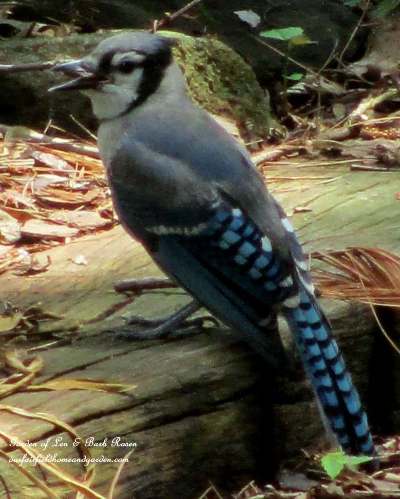 Blue Jay https://ourfairfieldhomeandgarden.com/diy-bird-baths-bring-birds-to-your-garden/