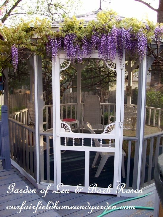 Wisteria trained around a gazebo http://ourfairfieldhomeandgarden.com/a-trip-down-memory-lane-my-former-garden/
