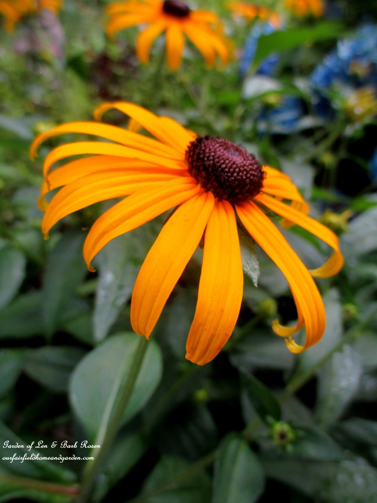 Black-Eyed Susans in the summer garden https://ourfairfieldhomeandgarden.com/in-a-summer-garden-our-fairfield-home-garden/