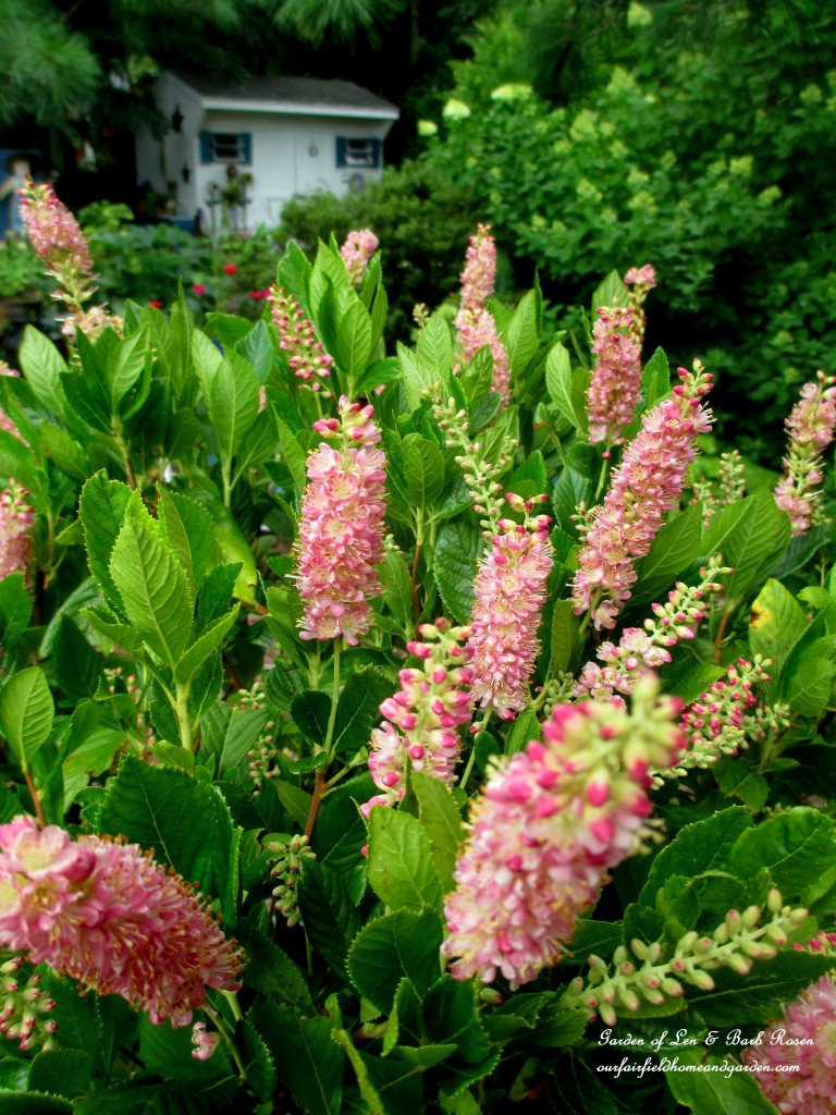 "Clethra ""Ruby Spice"" http://ourfairfieldhomeandgarden.com/in-a-summer-garden-our-fairfield-home-garden/"