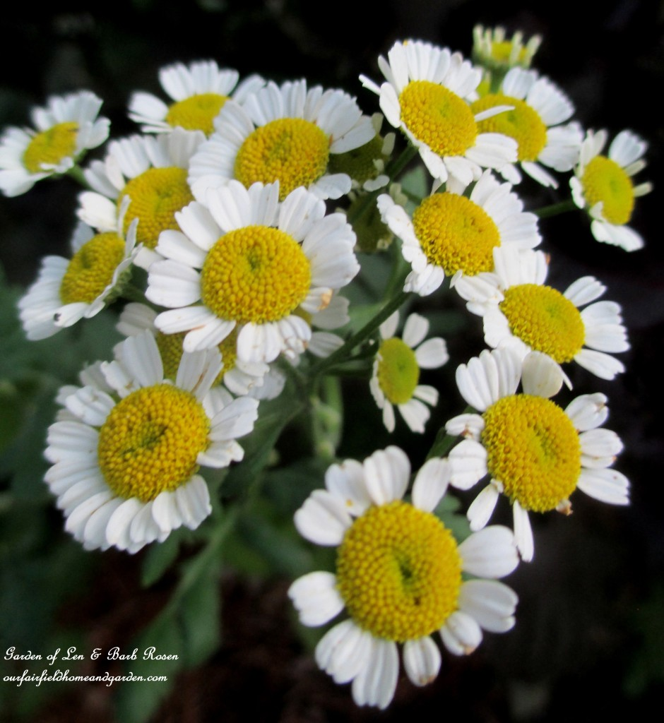 Feverfew https://ourfairfieldhomeandgarden.com/in-a-summer-garden-our-fairfield-home-garden/