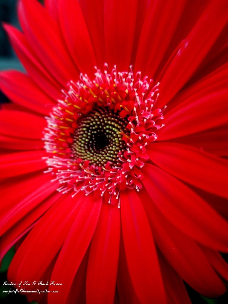 Gerber Daisy http://ourfairfieldhomeandgarden.com/in-a-summer-garden-our-fairfield-home-garden/