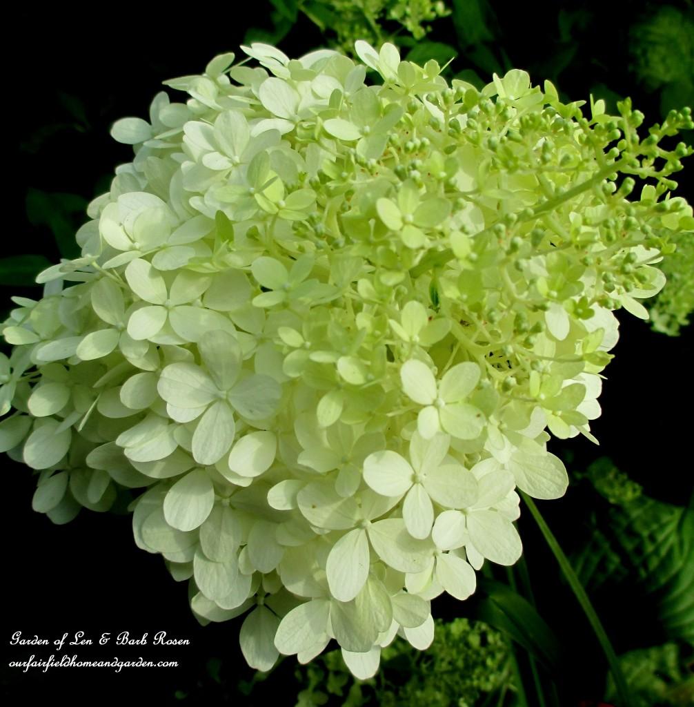 Limelight Hydrangeas http://ourfairfieldhomeandgarden.com/in-a-summer-garden-our-fairfield-home-garden/