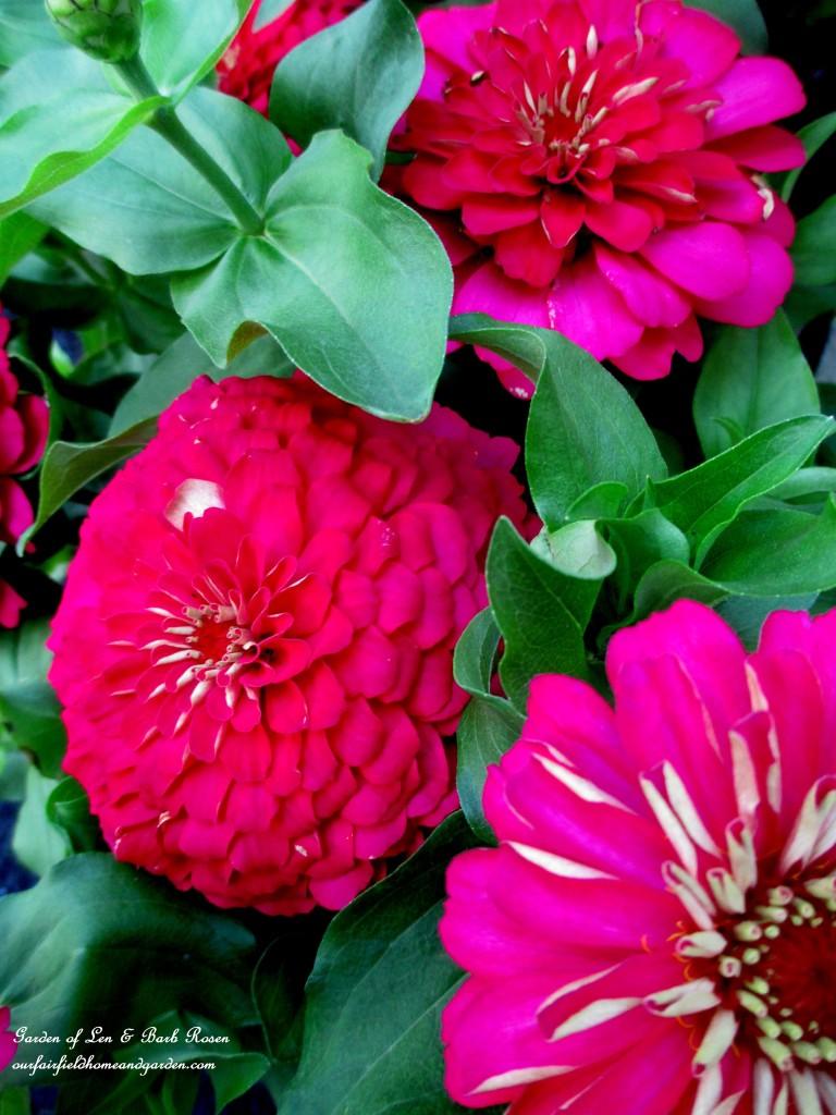 Pink Zinnias http://ourfairfieldhomeandgarden.com/in-a-summer-garden-our-fairfield-home-garden/