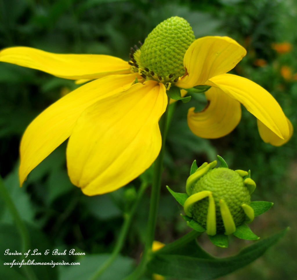 Rudbeckia Maxima http://ourfairfieldhomeandgarden.com/in-a-summer-garden-our-fairfield-home-garden/