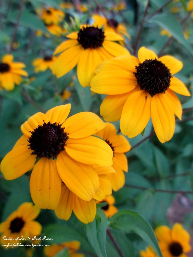 Rudbeckia Triloba http://ourfairfieldhomeandgarden.com/in-a-summer-garden-our-fairfield-home-garden/