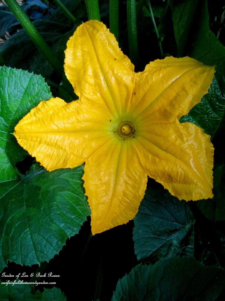 Squash Blossom http://ourfairfieldhomeandgarden.com/in-a-summer-garden-our-fairfield-home-garden/