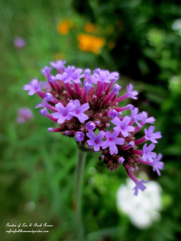 Verbena Bonariensis http://ourfairfieldhomeandgarden.com/in-a-summer-garden-our-fairfield-home-garden/