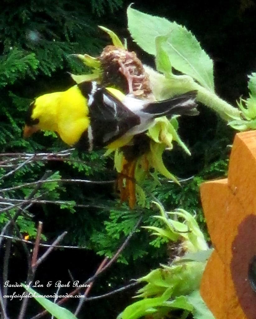 Goldfinch http://ourfairfieldhomeandgarden.com/in-a-summer-garden-our-fairfield-home-garden/
