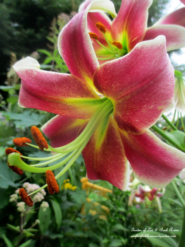 Pink Asiatic Lily http://ourfairfieldhomeandgarden.com/in-a-summer-garden-our-fairfield-home-garden/