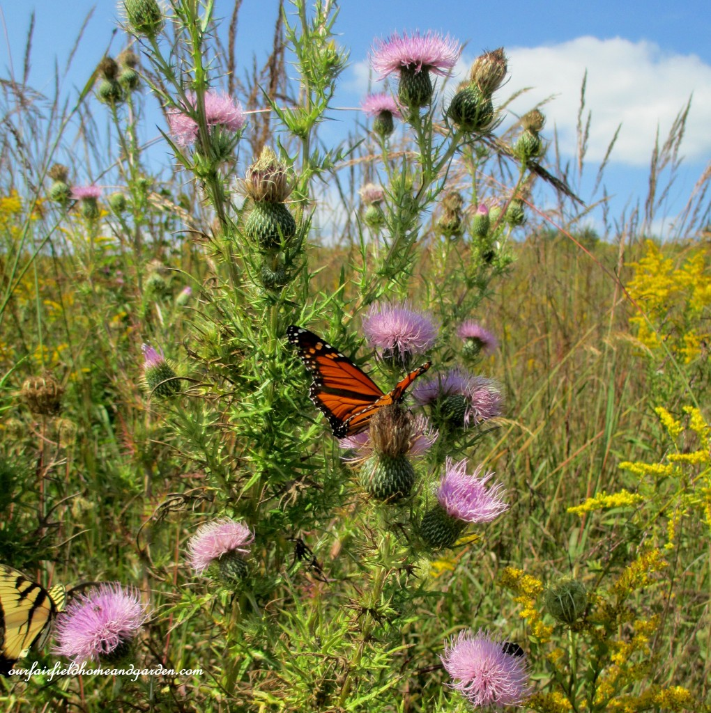 Butterflies and Meadow Flowers http://ourfairfieldhomeandgarden.com/longwood-gardens-a-walk-in-the-meadow/