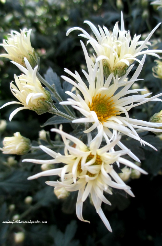 Mum with fringed flowers https://ourfairfieldhomeandgarden.com/field-trip-chrysanthemum-festival-at-longwood-gardens/
