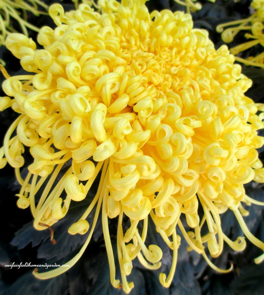"""Golden Rain"" https://ourfairfieldhomeandgarden.com/field-trip-chrysanthemum-festival-at-longwood-gardens/"