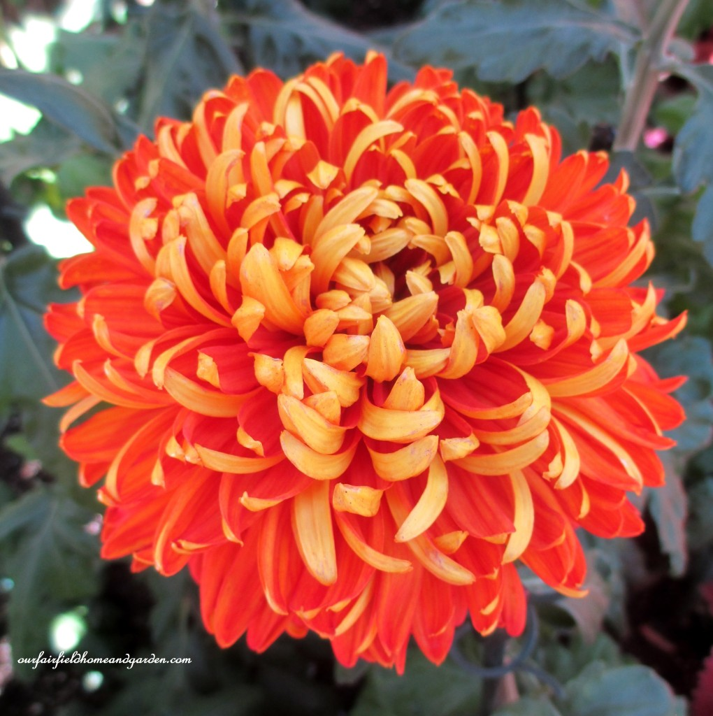 """Indian Summer"" https://ourfairfieldhomeandgarden.com/field-trip-chrysanthemum-festival-at-longwood-gardens/"