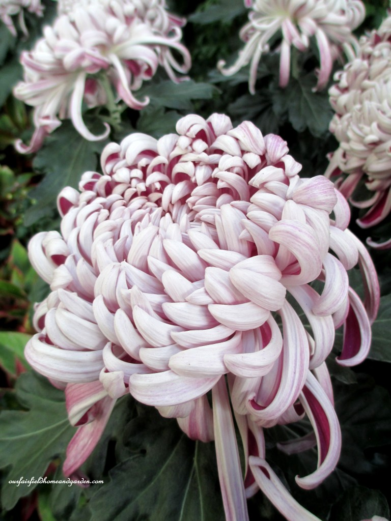 """Kokka Bunmi"" http://ourfairfieldhomeandgarden.com/field-trip-chrysanthemum-festival-at-longwood-gardens/"