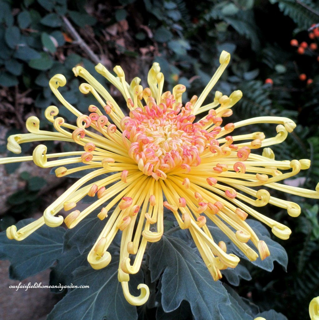 """Lava"" http://ourfairfieldhomeandgarden.com/field-trip-chrysanthemum-festival-at-longwood-gardens/"